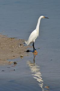 """snowy egret = """"snowy"""" feet"""