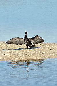 double-crested cormorant drying out