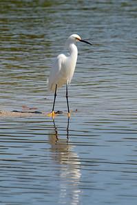 """snowy egret (""""snowy"""" feet)"""