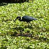 Video: Little Blue Heron - Audubon's Corkscrew Swamp Sanctuary