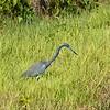 Video: Tricolored Heron - Shipley Trail