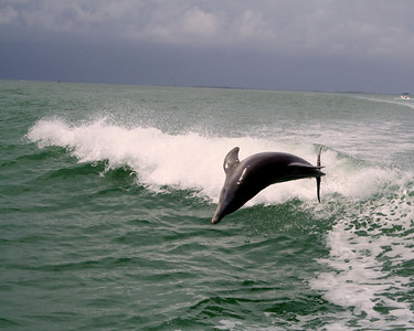 Dolphins in Tarpon Bay