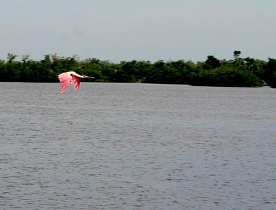 Pink bird flying in Ding Darling Reservation