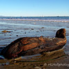 3.1.11<br /> <br /> driftwood...<br /> <br /> If you use a little imagination, a seal can be seen looking out to sea.