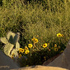 2.24.11<br /> <br /> cactus and wildflowers...<br /> <br /> East Beach cliffs, Santa Barbara, CA