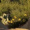 2.24.11<br /> <br /> cactus and wildflowers...<br /> <br /> East Beach cliffs, Santa Barbara, CA