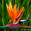 2.20.11<br /> <br /> Bird of Paradise<br /> <br /> Thanks a lot for all of your comments the last few days, much appreciated! Have a good Sunday.
