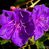 Purple flowers...<br /> <br /> Not sure what kind of flower these are, but I liked the color and light. Spotted them a couple of doors down from Rose Cafe, our favorite Mexican restaurant (on the mesa) in Santa Barbara.<br /> <br /> Thanks for your views and comments! Critiques welcome...<br /> <br /> January 7, 2015