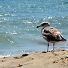 Sea Gull, Santa Barbara, CA  July 2008