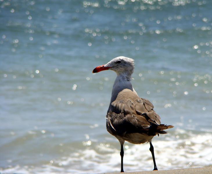 Sea Gull, Santa Barbara, CA  July 2008