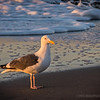 "California gull...<br /> <br /> East Beach<br /> Santa Barbara, CA<br /> <br /> A common winter gull of the West Coast, the California Gull breeds inland across large areas of the West. It can be found in parking lots and lakes from California to Manitoba.  <a href=""http://www.allaboutbirds.org/guide/california_gull/id"">http://www.allaboutbirds.org/guide/california_gull/id</a><br /> <br /> Thanks for your comments, really appreciate them all!<br /> <br /> Critiques welcome...<br /> <br /> April 11, 2013"