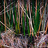 common reed...<br /> <br /> Andree Clark Bird Refuge<br /> Santa Barbara, CA<br /> <br /> Thank you for your comments!<br /> <br /> Critiques welcome...<br /> <br /> March 22, 2013