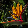 Bird of Paradise...<br /> <br /> Spotted this beautiful flower on the way back from my beach shoot one morning, really liked the light and color...<br /> <br /> Santa Barbara, CA<br /> <br /> Thank you for your comments!<br /> <br /> Critiques welcome...<br /> <br /> March 26, 2013