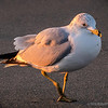 California Gull...<br />      enjoying an early morning stroll : )<br /> <br /> East Beach<br /> Santa Barbara, CA<br /> <br /> Thank you for commenting!<br /> <br /> Critiques welcome...<br /> <br /> March 27, 2013