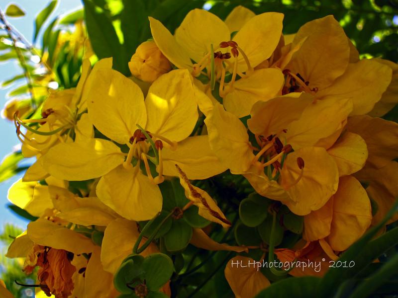Golden Medallion Tree<br /> <br /> Seen on State Street, Santa Barbara, CA