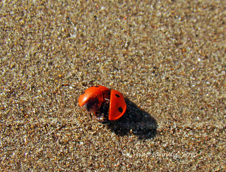 Ready for Take off!<br /> <br /> This is the same ladybug seen in an earlier post. I've seen them spread their wings like this before but never had my camera handy. This time I got lucky! According to one source, they're getting ready to fly but I followed this lady for several minutes and she was still on the ground when I moved on.