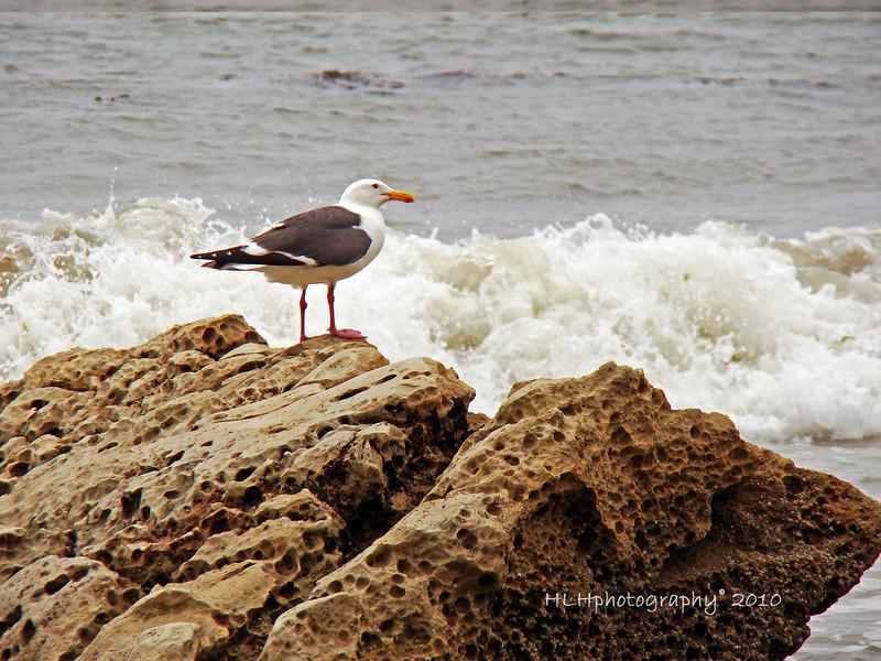 California Gull, Santa Barbara, CA<br /> <br /> Have a great week-end everyone!