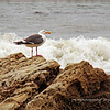 California Gull, on the beach below Shoreline Park