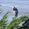 A Great Blue Heron at the Coronado Butterfly Preserve in Goleta.