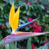 Bird of Paradise near Motel 6.