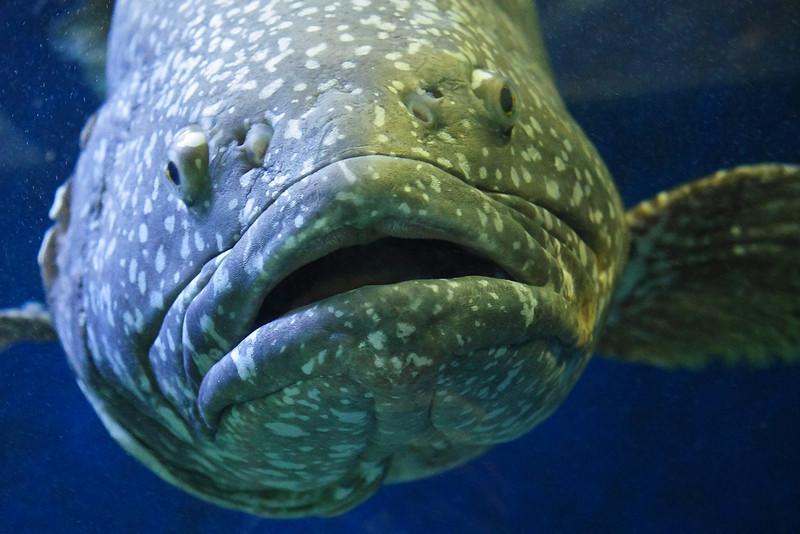 Le Mérou Géant, 3m et 600kg
