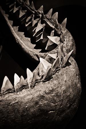 Machoire de Megalodon