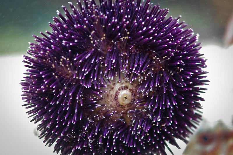 Un oursin violet