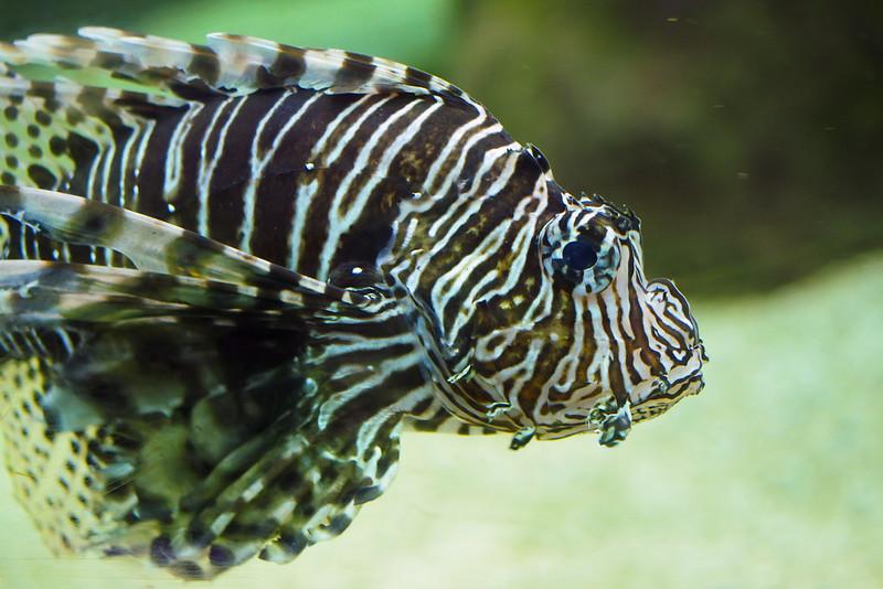 Le poisson scorpion et ses nageoires venimeuse
