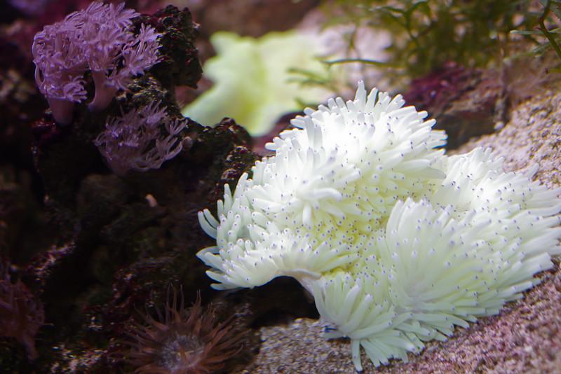 Magnifique anémone de mer