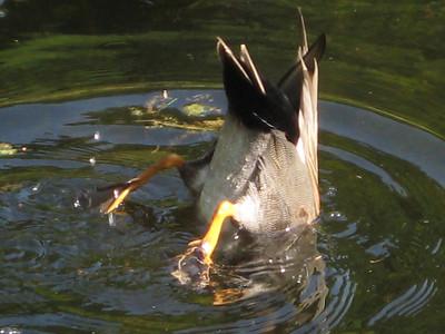 Duck butt  (Al's pic)