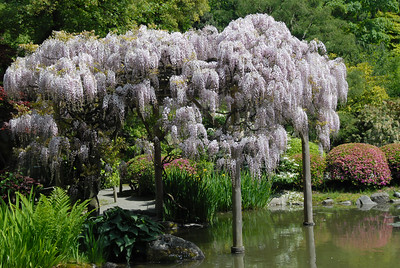 Wisteria in the Japanese Gardens.