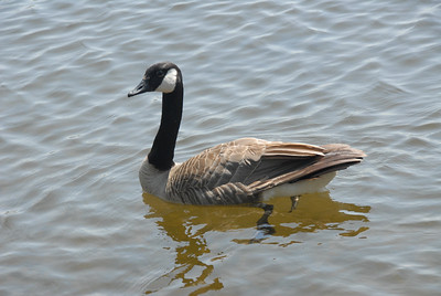 First fellow we saw was this Canada Goose, so we know we are getting close to home.