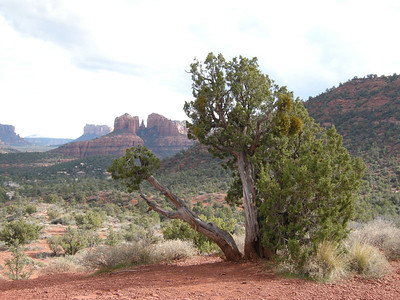 A nearby old juniper. Their berries are very fragrant.