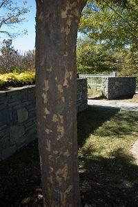 Bark of the Lace Bark Elm
