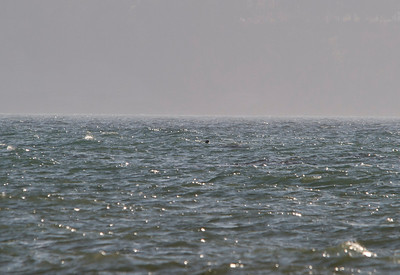 A seal swimming off Dungeness Spit.