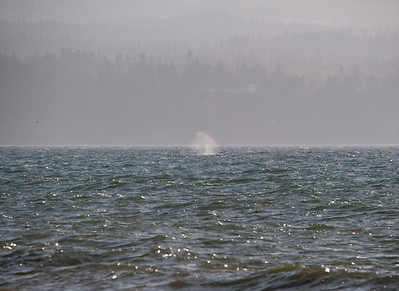 A whale spounting off Dungeness Spit.
