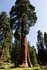 Sentinel Tree, in front of the Sequoia museum