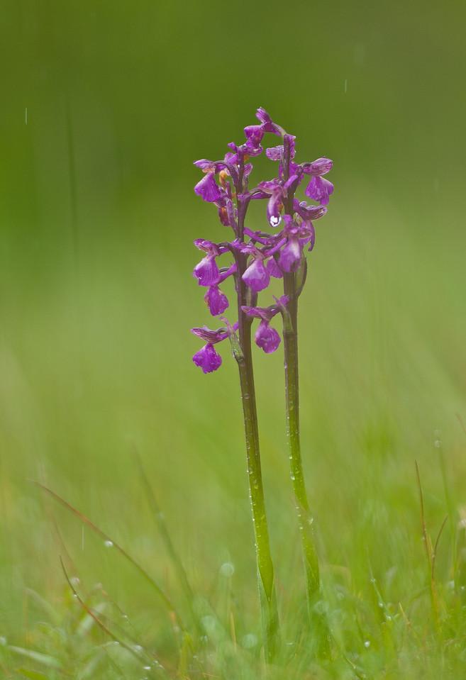 Orchis Morio im Regen