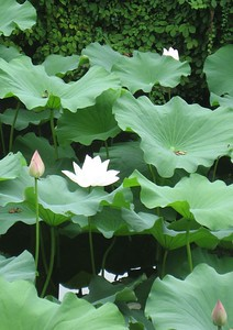 A white lotus blossom. Most are pink.