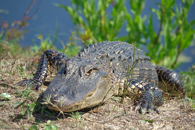 Bulls Island Alligator