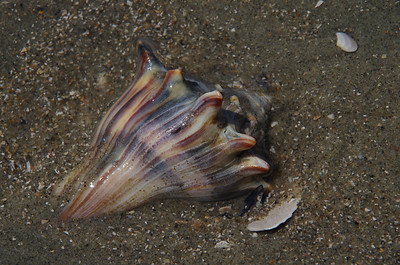 Seahell Conch
