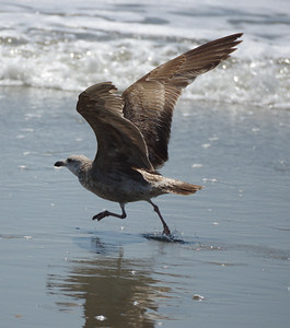 Ringneck Gull