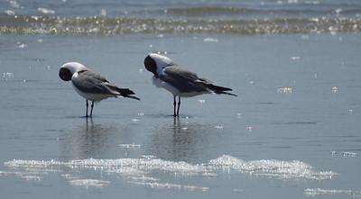 Pair of Laughting Gulls
