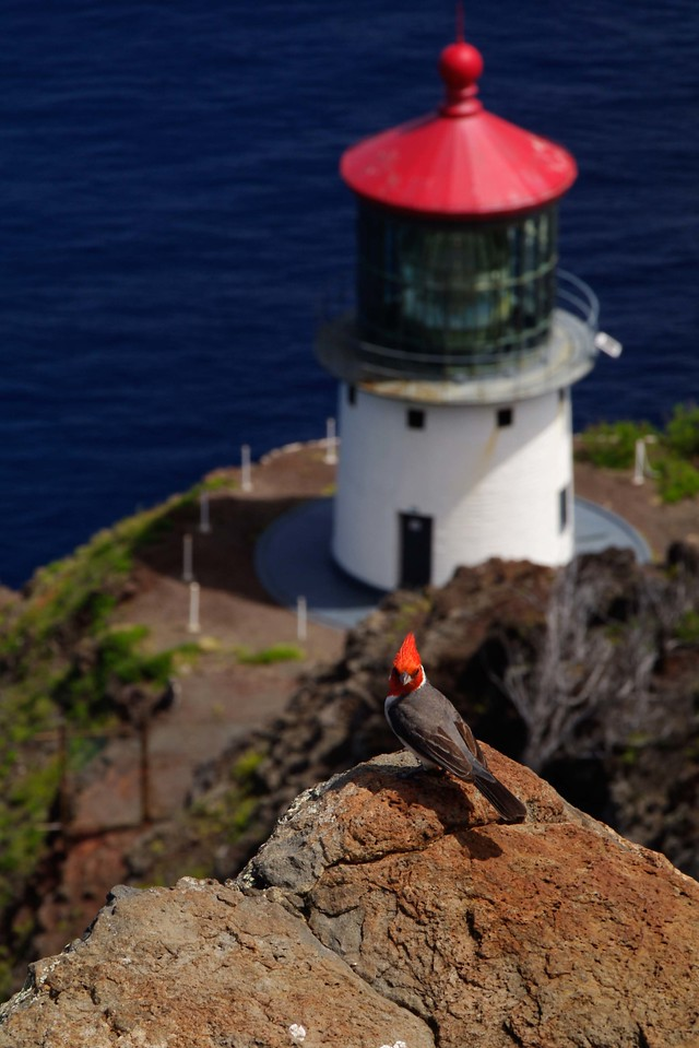 Red Tops by the Sea   Hawaii lighthouse and cardinal