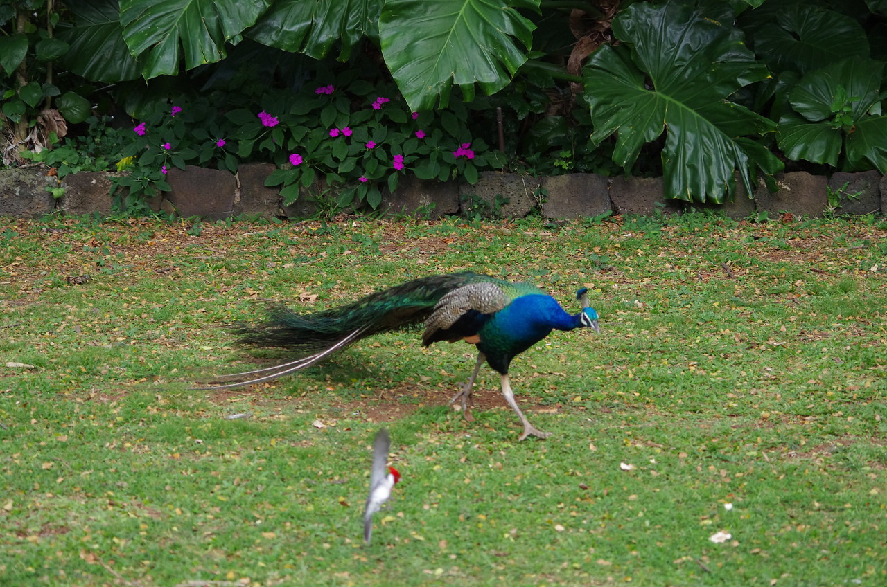 peacock and cardinal fighting for food, seriously funny