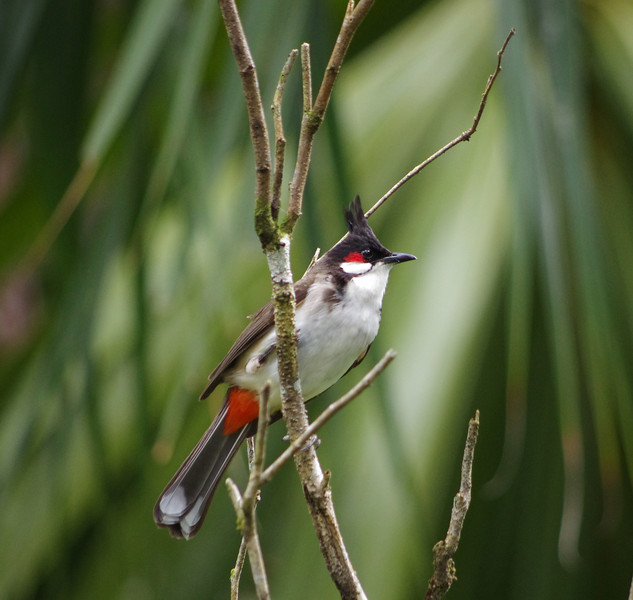 Red-Vented Bulbul Hawaii Bird