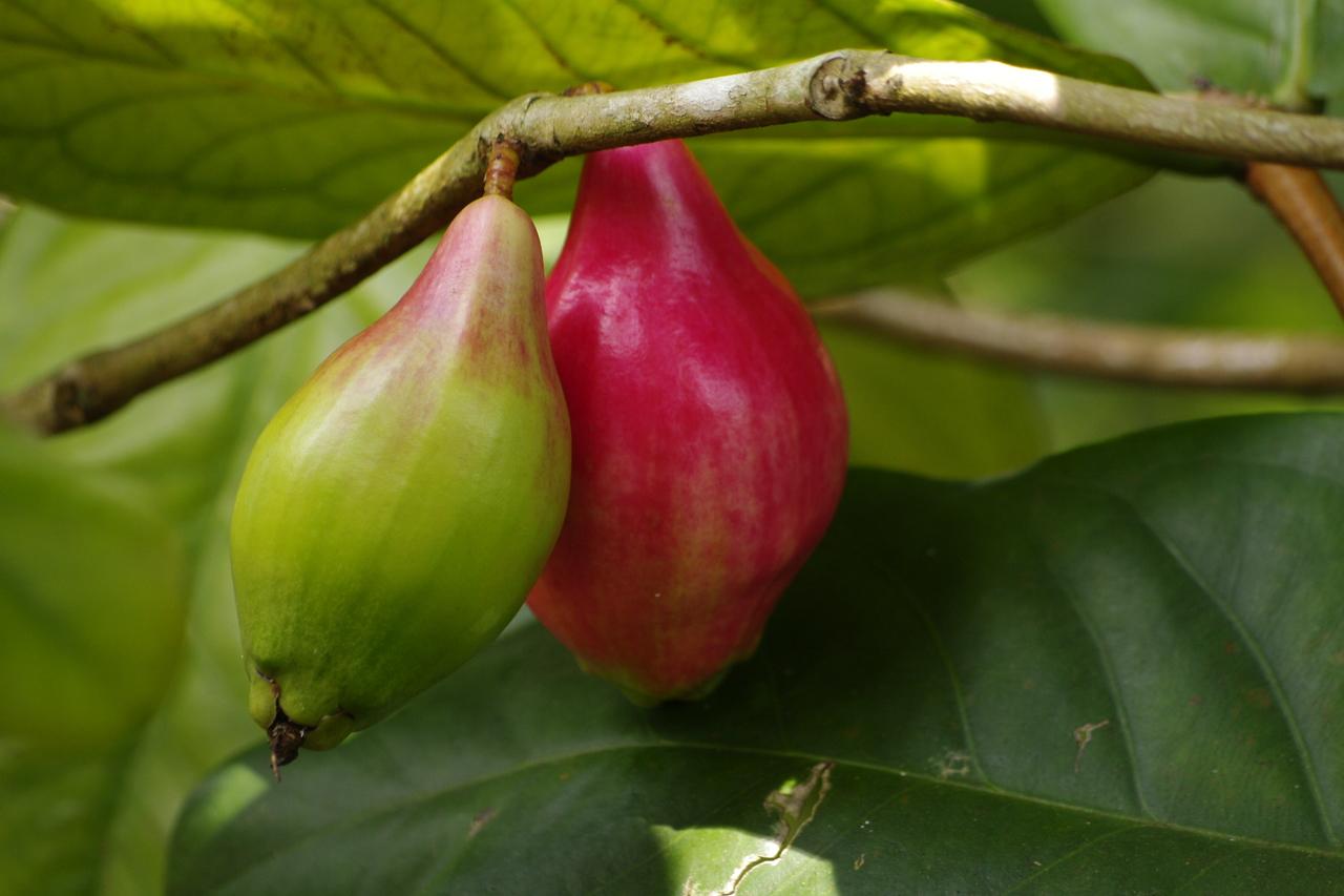 Hawaii plant Pear?