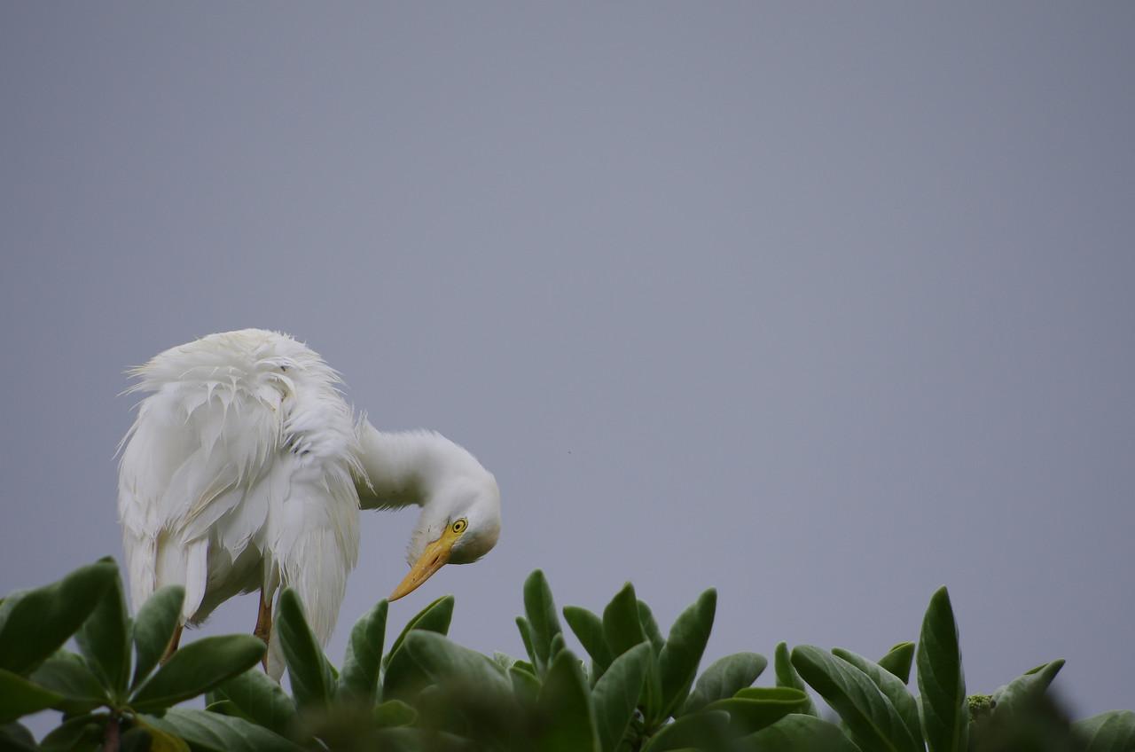 egret in a tree Hawaii