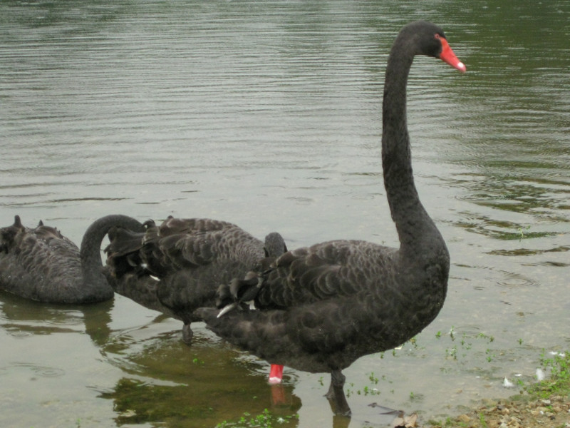 Black swans in the botanical garden in Singapore