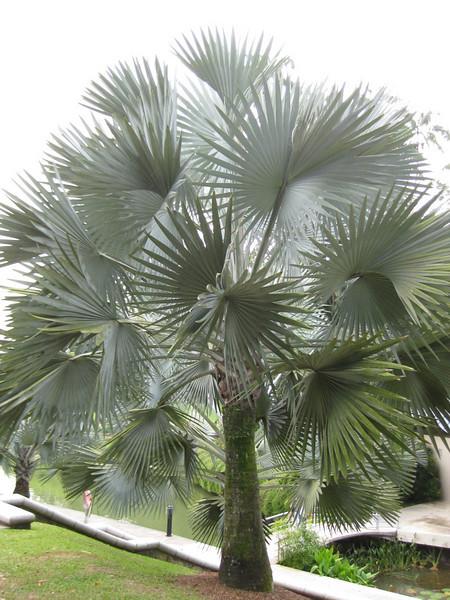 White palm in the botanical garden